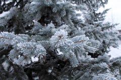 Spruce i snowen Bakgrund Växter av iderable Fotografering för Bildbyråer