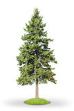 Spruce isolated on white. Fir tree (Picea) isolated on white background Royalty Free Stock Images
