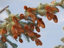 Spruce kottar Arkivfoto