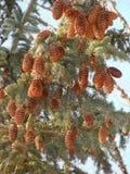 Spruce kottar Royaltyfri Fotografi