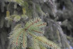 The spruce lat. Picea is an evergreen coniferous tree.Refers to the order of the pine, the pine family, family tree. The height of the spruce can reach 50 Royalty Free Stock Images