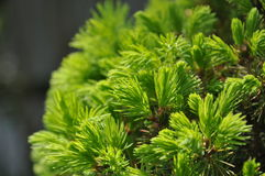 Spruce Royalty Free Stock Photography