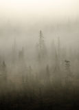 Spruce in the Mist. Fine mist blows through Sitka Spruce forest Royalty Free Stock Image
