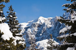 Spruce and mountain. Ski resort Madonna di Campiglio. Italy Stock Photography
