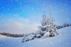 Spruce in a mountain valley Royalty Free Stock Photo