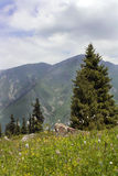 Spruce in the mountains. Mountain's landscape: spruce, stones and flowers Royalty Free Stock Images