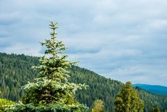 Spruce in the mountains, covered with forest royalty free stock photos