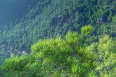 Spruce in the mountains royalty free stock image