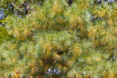 Spruce needles background closeup Royalty Free Stock Images