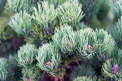Spruce needles close up natural texture. Christmas mood for aroma. Fir tree needles on branches. Branch of fir tree. Green needles. Nature beauty texture. Fir stock photo