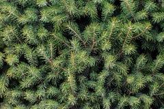 Spruce needles Royalty Free Stock Photography