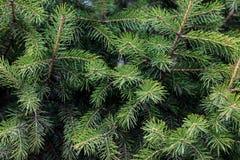 Spruce needles Royalty Free Stock Photo