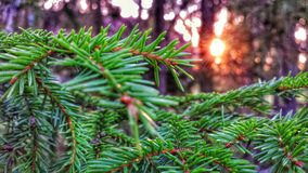 Spruce and needles Stock Photos