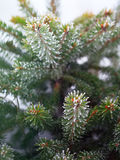 Spruce needles in the frost Royalty Free Stock Photos