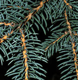 Spruce needles Royalty Free Stock Image