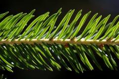 Spruce Needles. Stock Photo