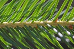 Spruce Needles. Royalty Free Stock Photos