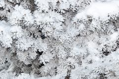Spruce needles and soft fluffy snow Royalty Free Stock Photo