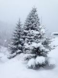 Spruce and other trees covered with snow in the woods at the edge Stock Photo