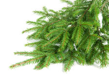 Spruce over white Stock Images