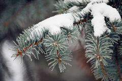 Spruce paw with snow. Stock Image