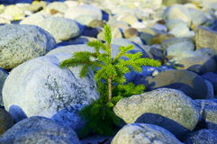 Persistent Spruce Breaks Through Rocks Royalty Free Stock Photos