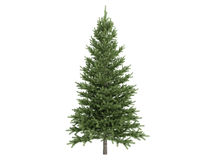 Spruce_ (Picea) Stock Foto's