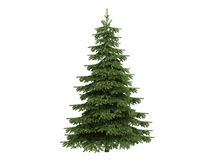 Spruce_(Picea) Royalty Free Stock Photo