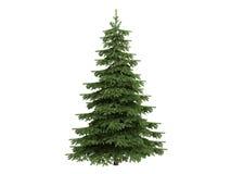 Spruce_ (Picea) Royalty-vrije Stock Foto