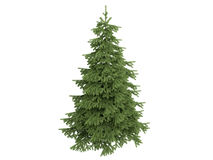 Spruce_(Picea) Royalty Free Stock Photos