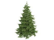 Spruce_ (Picea) Royalty-vrije Stock Foto's