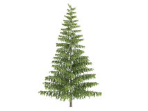 Spruce_ (Picea) Stock Foto
