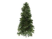 Spruce_ (Picea_abies) Royalty-vrije Stock Fotografie