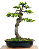 Spruce (Picea orientalis) as bonsai tree in a pot Royalty Free Stock Photo