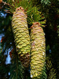 Spruce pine cones Royalty Free Stock Images