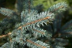 Spruce, Pine Family, Tree, Fir Royalty Free Stock Photos