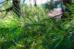 spruce pine  Royalty Free Stock Photos