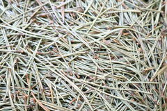 Spruce or pine needles as part Royalty Free Stock Photo