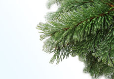 Spruce, pine needles. Freezing rain. Royalty Free Stock Images
