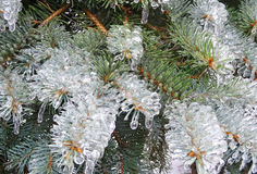 Spruce, pine needles. Tree in ice. Freezing rain Royalty Free Stock Photos