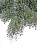 Spruce, pine needles. Tree in ice. Freezing rain Royalty Free Stock Images