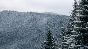 Spruce and pine tree crowns and branches covered with snow. Winter day in snowy fir tree forest, Treetops with mountains. And hills on background. Christmas stock video