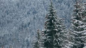 Spruce and pine tree crowns and branches covered with snow. Winter day in snowy fir tree forest, Treetops with mountains. And hills on background. Christmas stock video footage