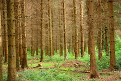 Spruce plantation Stock Images
