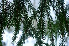 spruce ris Royaltyfri Fotografi