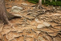Spruce roots Royalty Free Stock Image