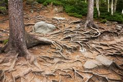 Spruce roots Royalty Free Stock Photo