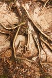 Spruce roots Stock Images