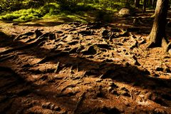 Spruce roots Royalty Free Stock Photos