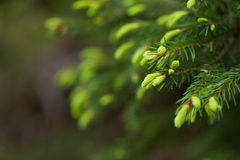 Spruce Shoots. Young shoots on a fir tree stock image